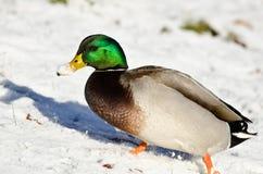 Wilde eend Duck Showing Off zijn Sneeuw Behandelde Rekening royalty-vrije stock foto's