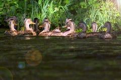 Wilde eend - een vogel van de familie van eendendetachement van watervogels De beroemdste en gemeenschappelijke wilde eend Groep  royalty-vrije stock afbeelding