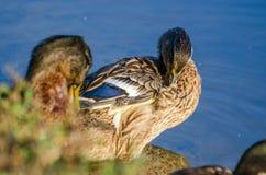 Wilde eend Hen Molt Preening royalty-vrije stock foto
