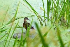 Wilde eend in het moeras Royalty-vrije Stock Afbeeldingen