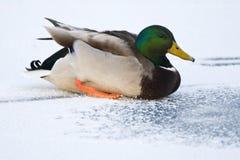 Wilde Eend, Mallard, Anas Plathyrhynchos. Mannetje Wilde Eend op ijs; Male Mallard on ice stock images
