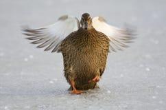 Wilde Eend, Mallard, Anas Plathyrhynchos. Vrouwtje Wilde Eend op ijs; Female Mallard on ice stock images