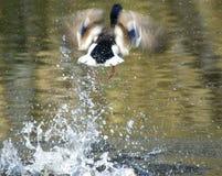 Wilde Eend; Mallard; Anas platyrhynchos. Mannetje Wilde Eend opvliegend uit water; Mallard male setting off stock photos