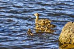 Wilde eend met een kroost van eendjes op de Neva-rivier in urg stock foto's
