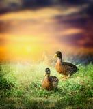 Wilde eend op het gras op de achtergrond van mooie aard en zonsonderganghemel Royalty-vrije Stock Foto's