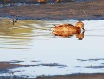 Wilde eend, vrouwelijke wilde eend, obidoslagune, Portugal Stock Fotografie