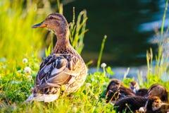 Wilde eendeend en haar eendjes op bank van rivier Stock Foto