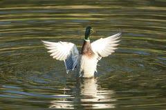 Wilde eendeend het vliegen Royalty-vrije Stock Fotografie