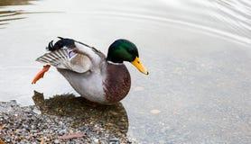 Wilde eendeend in ondiep water stock foto's
