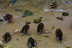 Wilde eendeenden die op het zand slapen Stock Afbeelding