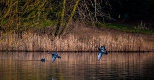 Wilde eendeenden die op water landen Stock Afbeeldingen