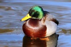 Wilde eendeenden in water Royalty-vrije Stock Afbeelding