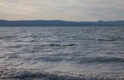Wilde eenden die in een lijn zwemmen Stock Foto