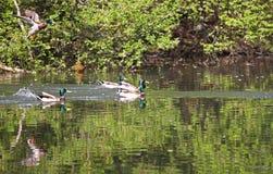 Wilde eenden die in het park vliegen Wilde eendeend in aard in het meer Dekkingsfoto met eenden Ontworpen achtergrond Faunapatroo royalty-vrije stock foto