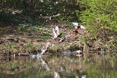 Wilde eenden die in het park vliegen Wilde eendeend in aard in het meer Dekkingsfoto met eenden Ontworpen achtergrond Faunapatroo royalty-vrije stock afbeelding