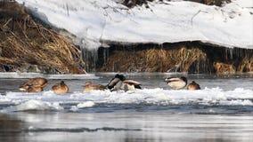 Wilde eenden op bevroren rivier stock video
