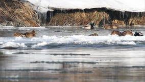 Wilde eenden op bezige bevroren rivier stock videobeelden
