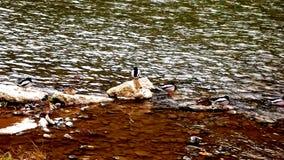 Wilde eenden op de rivier in Maglaj, Bosnië Herzegowina, achtergrond Royalty-vrije Stock Afbeeldingen
