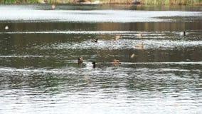 Wilde eenden op het meer stock videobeelden