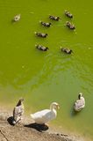 Wilde eenden op het meer Stock Foto's