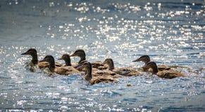 Wilde eenden op het meer Stock Afbeelding
