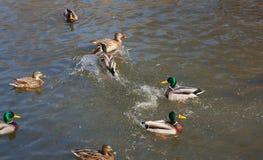 Wilde eenden op het water Stock Foto's