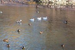 Wilde eenden op het water Royalty-vrije Stock Afbeelding