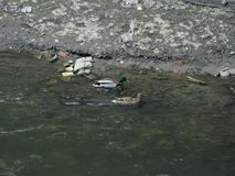 Wilde eenden op het water Royalty-vrije Stock Foto's