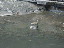 Wilde eenden op het water Stock Fotografie