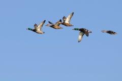 Wilde eenden tijdens de vlucht Royalty-vrije Stock Afbeeldingen