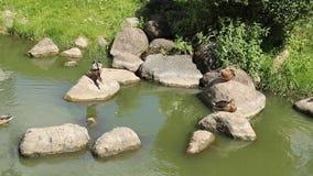 Wilde eendenrust op rotsen in de middag stock footage