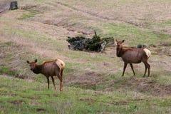 Wilde elanden in Idaho stock afbeeldingen