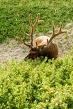 Wilde Elanden of Wapitiherten & x28; Cervus canadensis& x29; Royalty-vrije Stock Fotografie