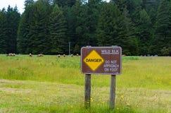 Wilde Elche im Rotholz-Nationalpark, Kalifornien Lizenzfreies Stockfoto