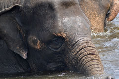 Wilde Elefanten Stockbild