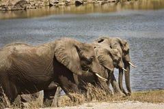 Wilde Elefanten auf der Flussbank, Nationalpark Kruger, SÜDAFRIKA stockfotografie