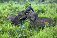 Wilde Elefanten, die neben der Straße nahe Habarana in Sri Lanka spielen Stockbild