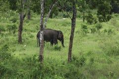 Wilde Elefanten leben im tiefen Wald Stockfoto