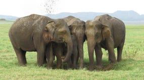 Wilde Elefanten in Nationalpark Sri Lanka Minneriya lizenzfreies stockfoto