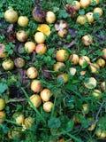 Wilde en rotte appelen op het gras Stock Foto