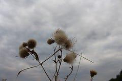 Wilde en stekelige impatiens - bloemen van een distel stock fotografie