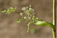 Wilde engelwortel (Engelwortelsylvestris) royalty-vrije stock afbeeldingen