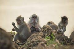 Wilde Erhaltung der Affefamilienlebensraum-wild lebenden Tiere Stockfotos