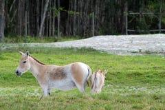 Wilde Esel Stockfoto