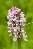 Wilde europäische Orchidee Lizenzfreie Stockbilder