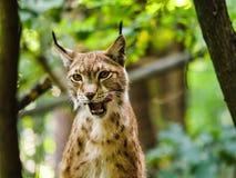 Wilde Europese lynx royalty-vrije stock afbeeldingen