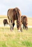 Wilde Exmoor Ponys Stockfoto