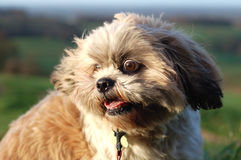 Wilde Eyed Hond Shitzu Stock Foto's