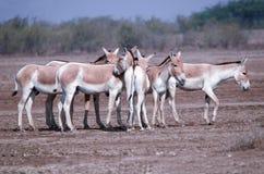 Wilde ezel stock foto's