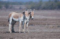 Wilde ezel stock afbeelding